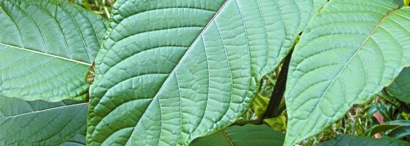 How To Overcome Methadone Addiction With Kratom?